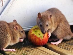 alimento ratto